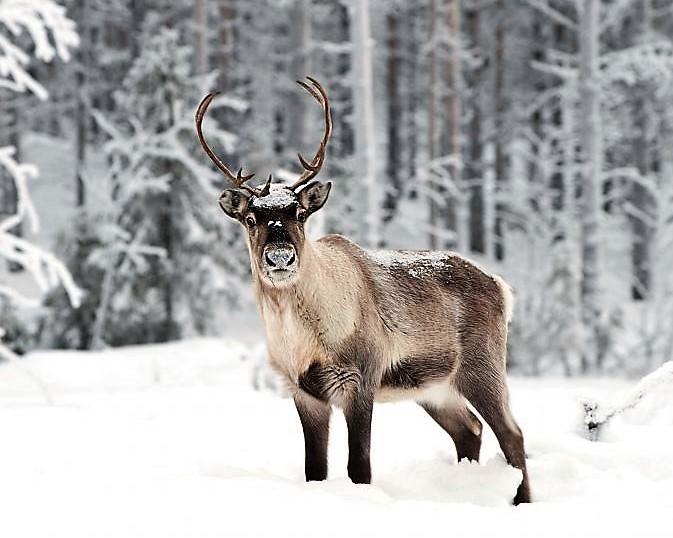 a68c32e697a3e1976a084ad4807c85e3--reindeer-seasons